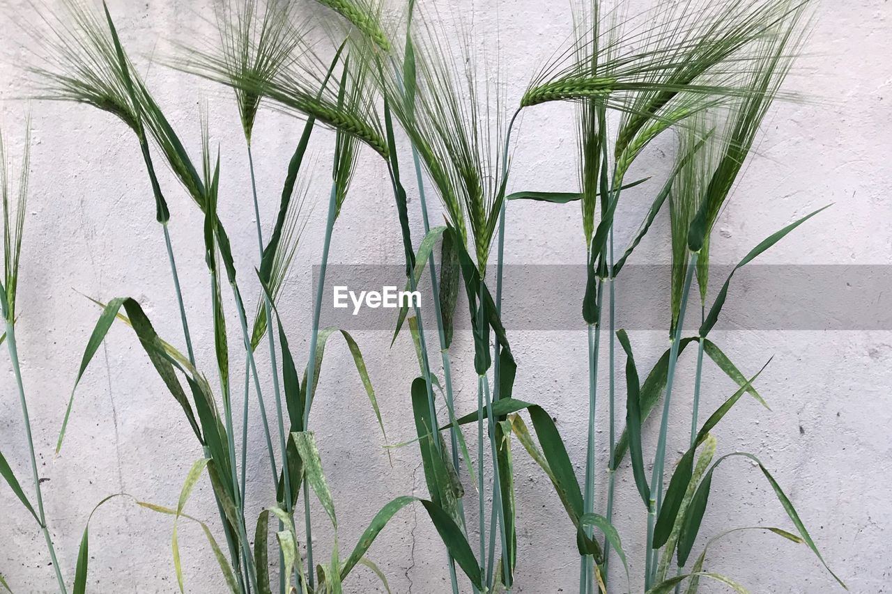 plant, growth, green color, no people, nature, beauty in nature, day, close-up, plant part, leaf, grass, outdoors, tranquility, field, land, sunlight, wall - building feature, agriculture, white color, high angle view, bamboo - plant