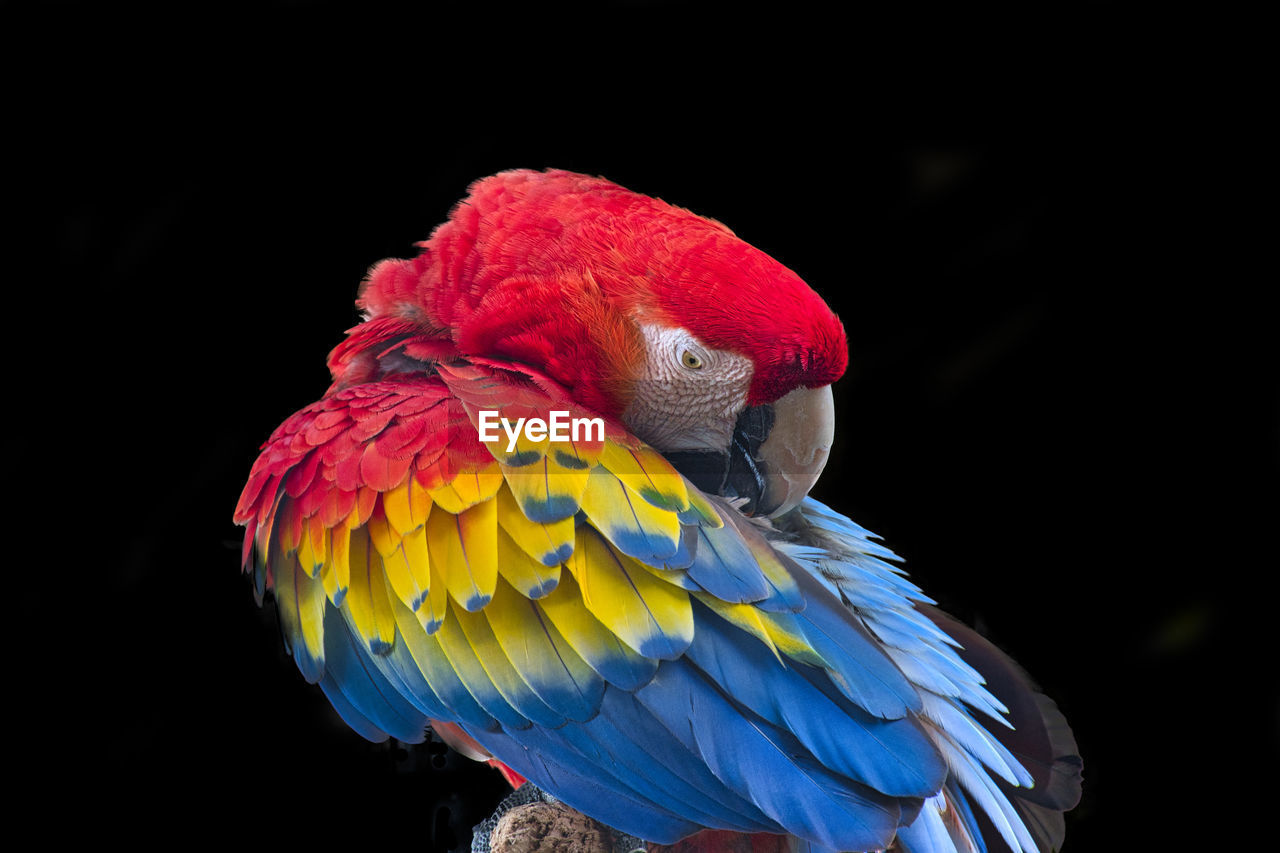 CLOSE-UP OF A PARROT IN A BLACK BACKGROUND