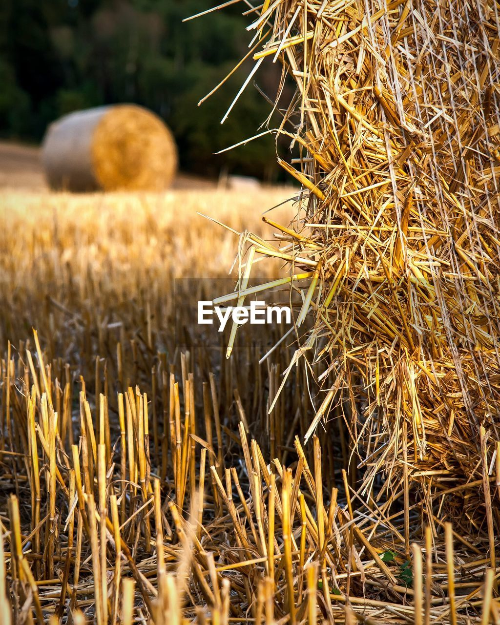 plant, field, hay, land, agriculture, nature, day, growth, dry, selective focus, bale, rural scene, farm, no people, landscape, crop, tranquility, brown, wheat, beauty in nature, outdoors, stalk
