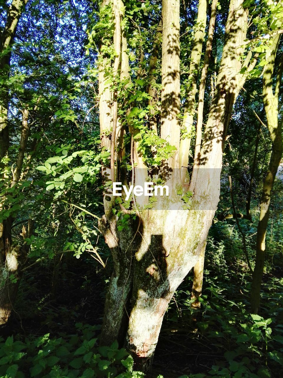 tree, tree trunk, growth, nature, day, bark, forest, no people, plant, outdoors, beauty in nature, branch, close-up