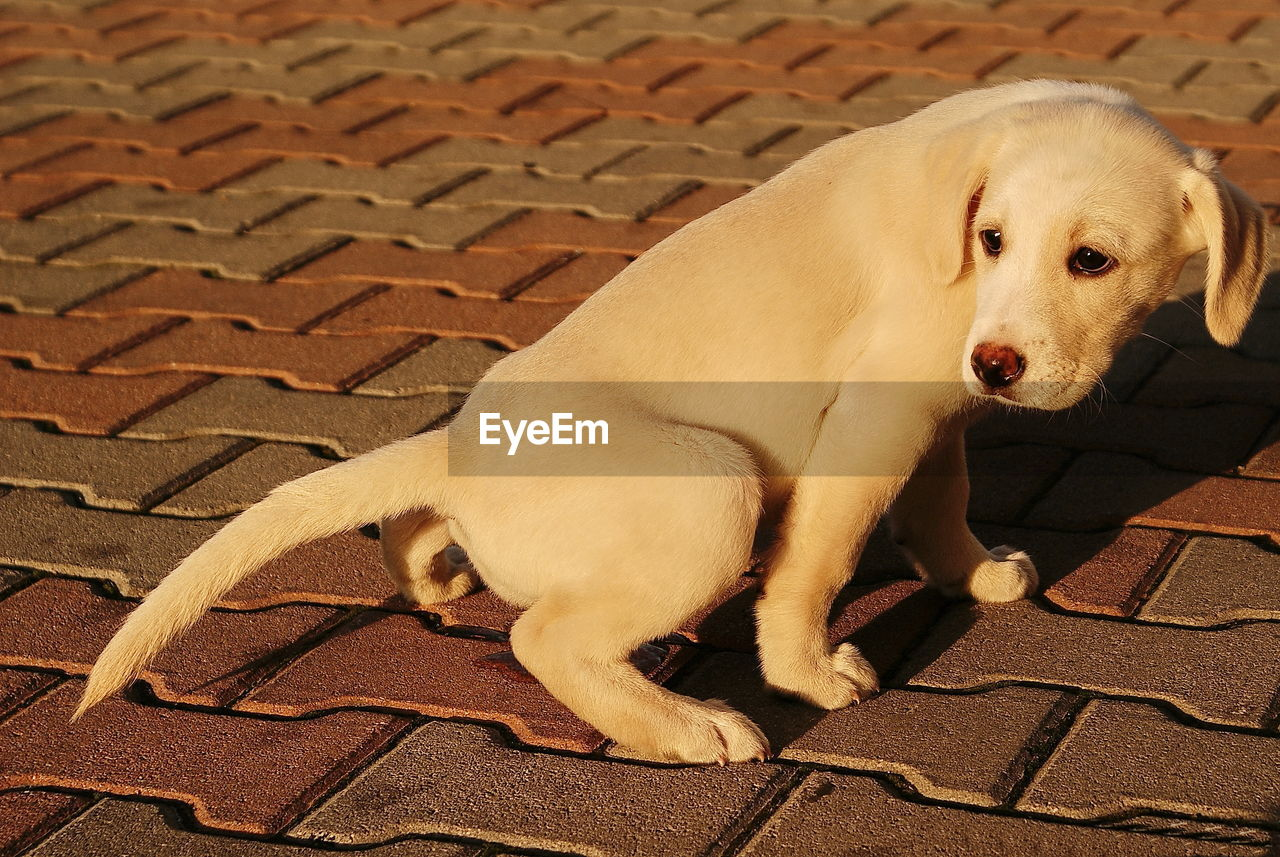 canine, pets, dog, domestic, mammal, domestic animals, one animal, animal themes, animal, vertebrate, footpath, relaxation, high angle view, no people, full length, sitting, day, looking, resting, street, paving stone
