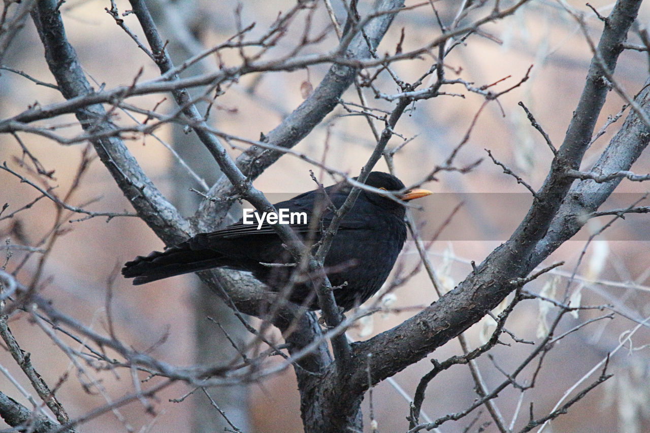 bird, branch, bare tree, animals in the wild, animal themes, one animal, perching, tree, animal wildlife, focus on foreground, no people, day, nature, outdoors, beauty in nature, close-up
