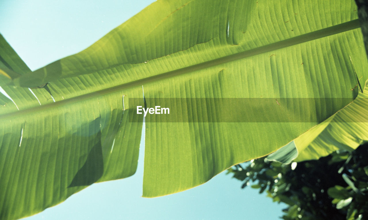 leaf, green color, nature, banana leaf, growth, beauty in nature, banana tree, day, no people, low angle view, outdoors, tranquility, plant, close-up, tree, freshness, clear sky, fragility