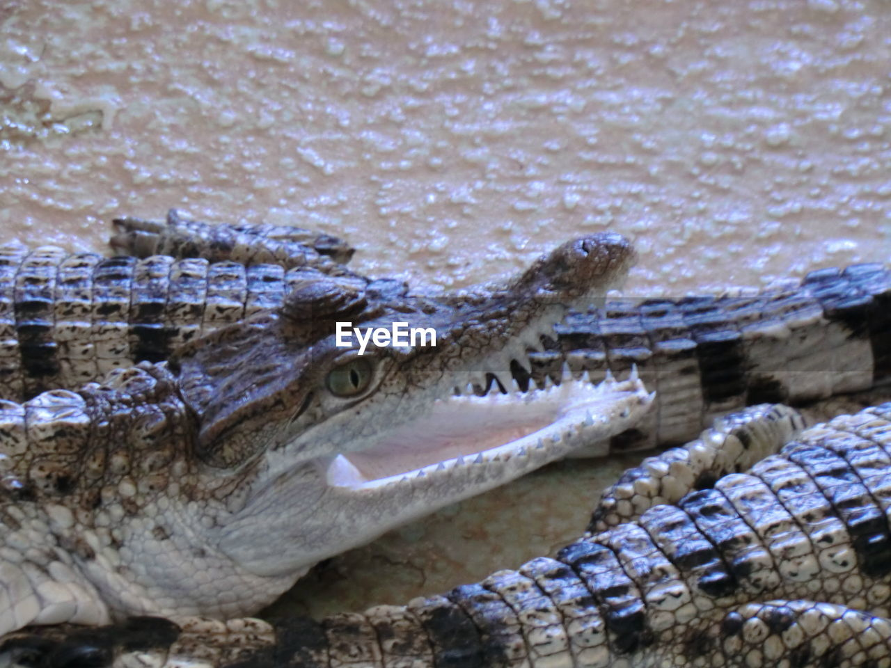 Close-Up Of Crocodiles In Water