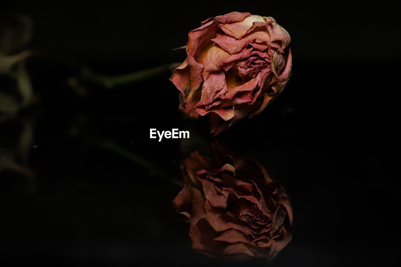 vulnerability, flower, fragility, flowering plant, beauty in nature, plant, petal, rose, close-up, freshness, black background, rose - flower, studio shot, nature, inflorescence, no people, flower head, dry, indoors, pink color, wilted plant, dried, natural condition