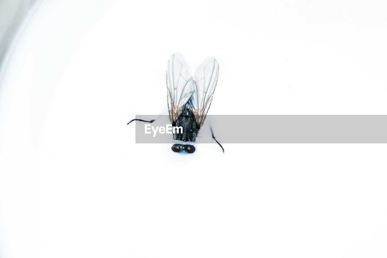 insect, animal themes, one animal, animals in the wild, animal wildlife, housefly, no people, day, white background, close-up, outdoors