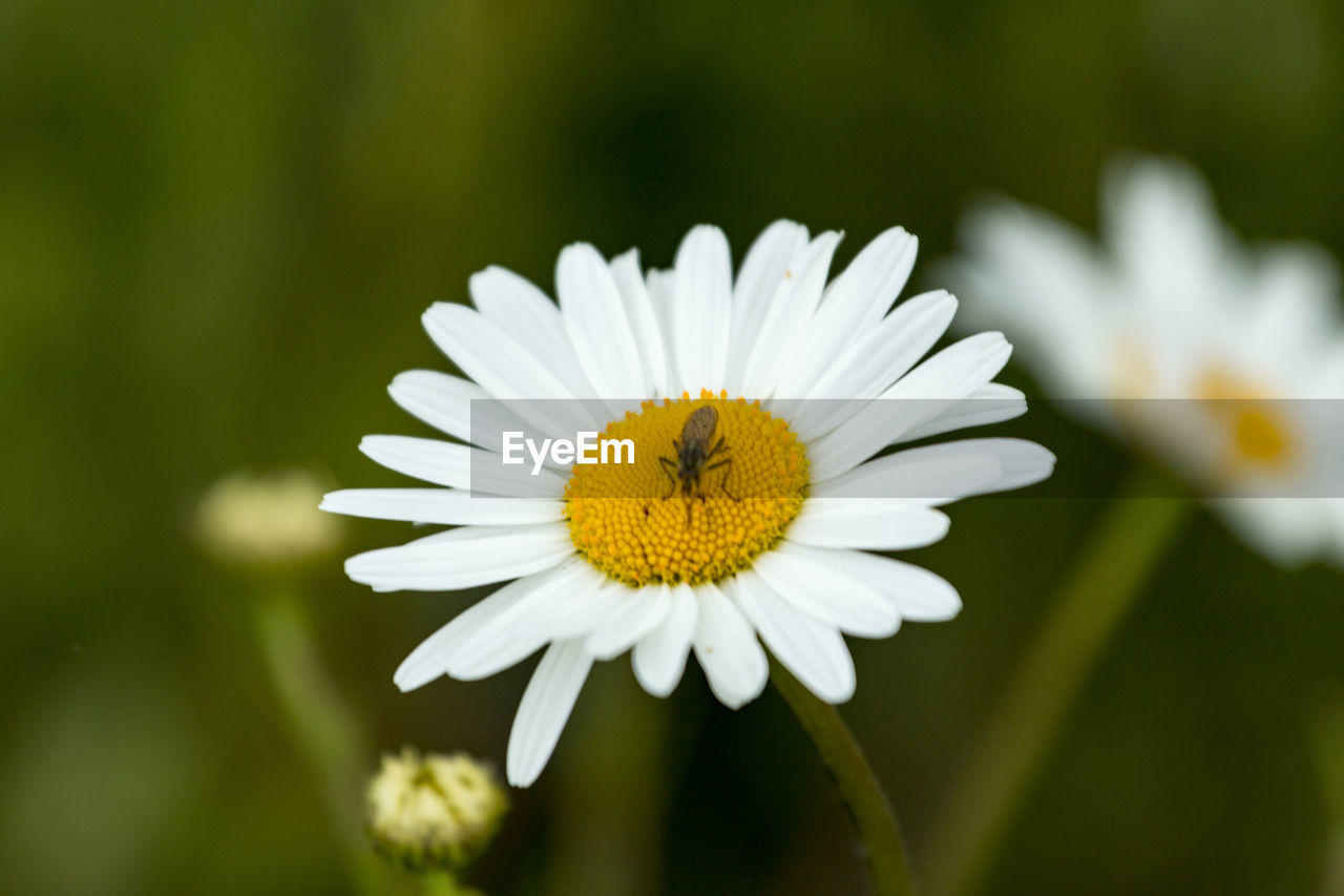flower, petal, fragility, one animal, nature, freshness, focus on foreground, animal themes, insect, flower head, yellow, growth, close-up, white color, beauty in nature, animals in the wild, day, no people, animal wildlife, outdoors, plant