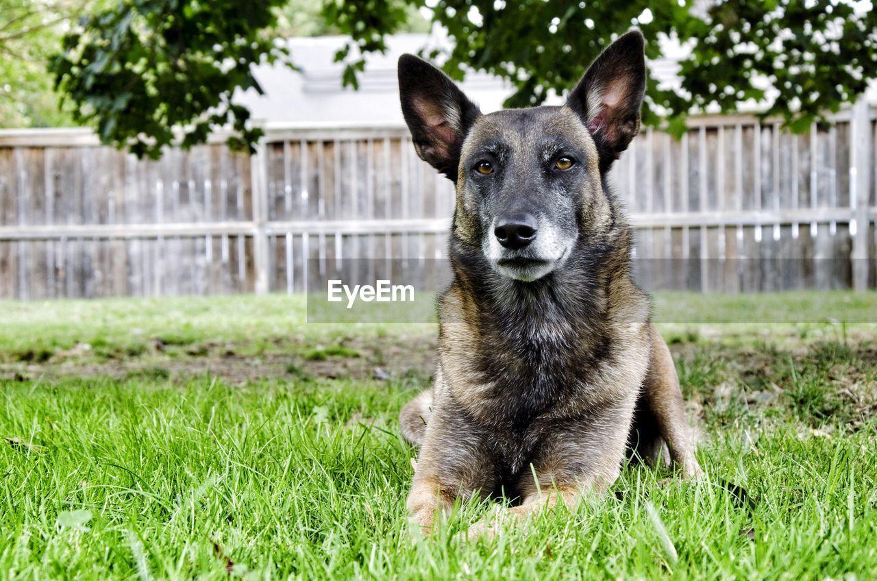 Portrait of dog sitting on field in yard