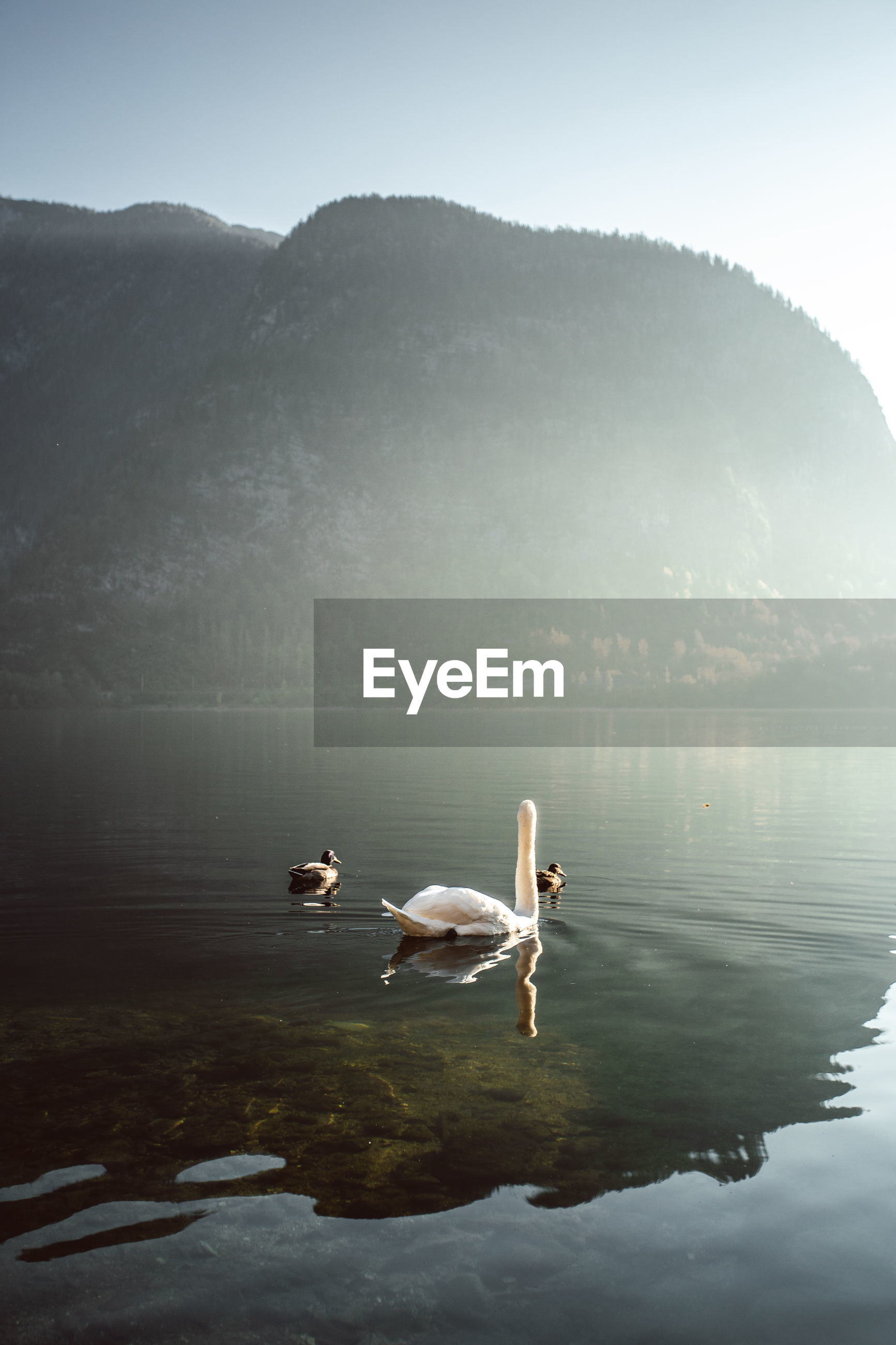 SWAN SWIMMING ON LAKE