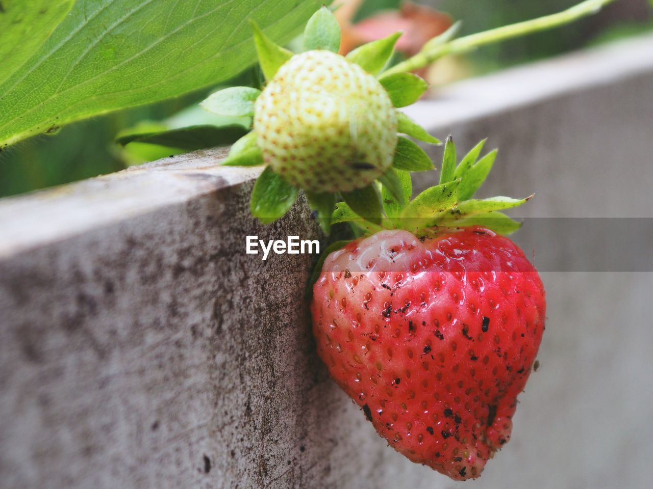 food, food and drink, healthy eating, fruit, red, freshness, close-up, wellbeing, growth, no people, plant, leaf, plant part, day, focus on foreground, strawberry, berry fruit, nature, green color, ripe, outdoors, sepal