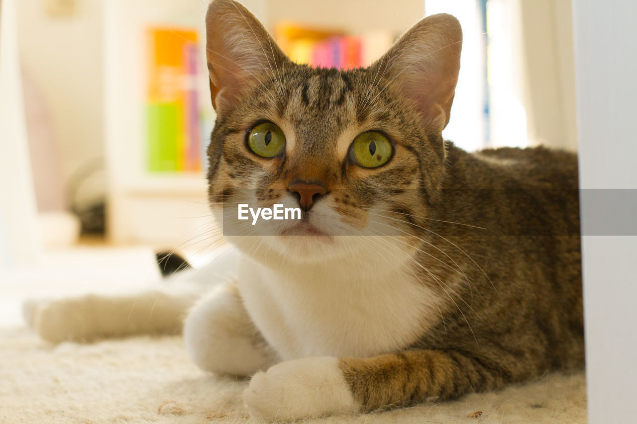 domestic, pets, domestic cat, cat, domestic animals, feline, mammal, animal themes, one animal, animal, vertebrate, portrait, indoors, looking at camera, whisker, no people, focus on foreground, home interior, close-up, relaxation, animal eye, animal head, yellow eyes, tabby