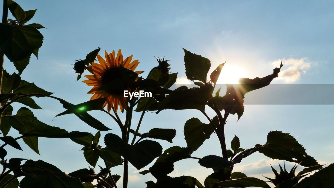 sky, plant, flowering plant, flower, growth, beauty in nature, freshness, fragility, nature, vulnerability, low angle view, petal, cloud - sky, flower head, close-up, inflorescence, sunlight, no people, day, outdoors, sepal