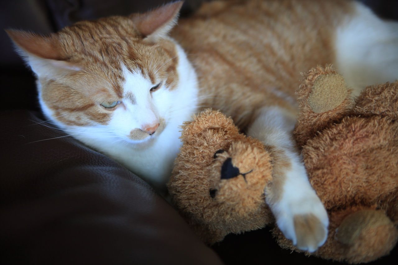 High Angle View Of Ginger Cat With Teddy Bear Relaxing On Bean Bag