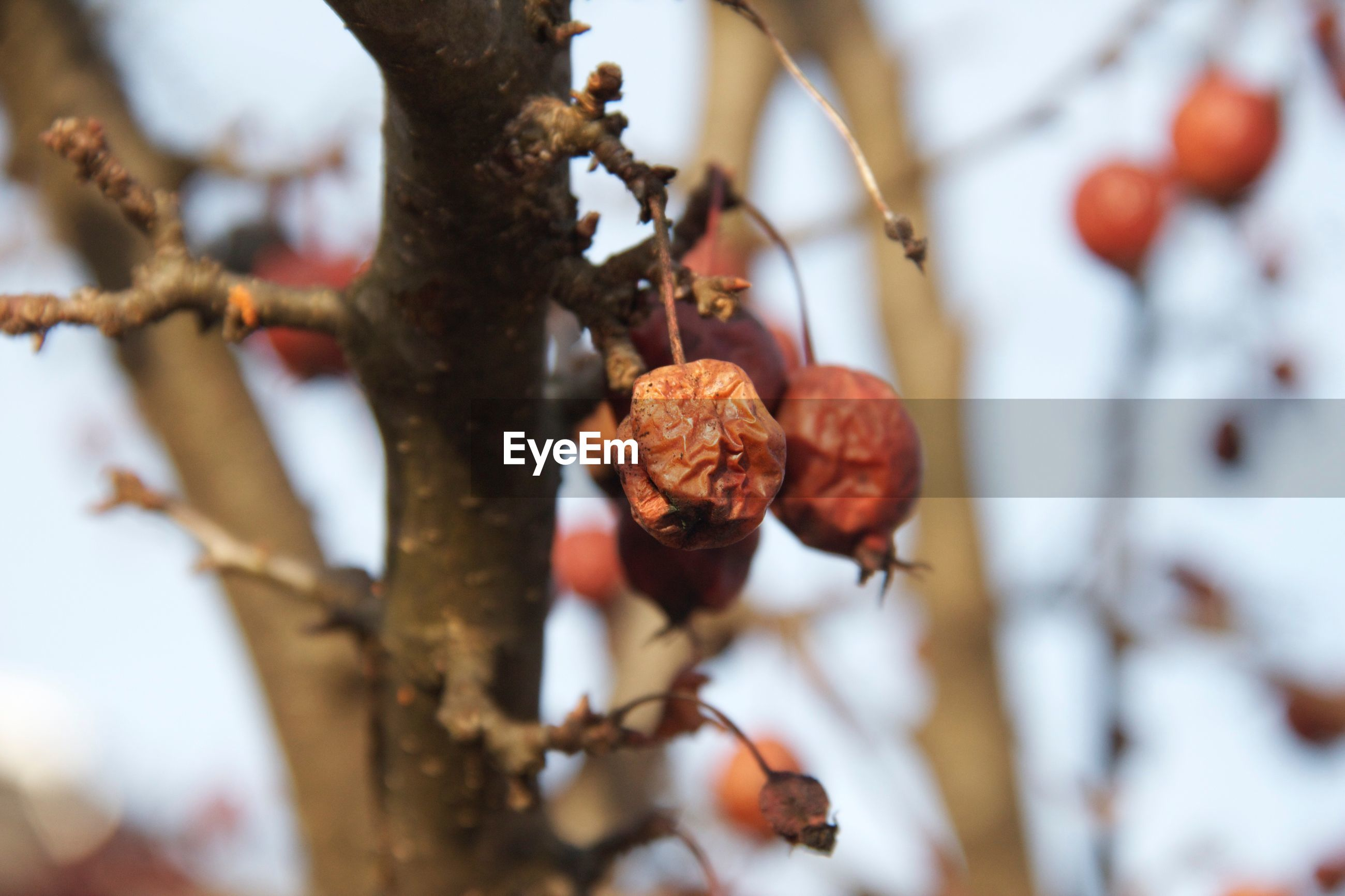CLOSE-UP OF FRUIT ON TREE