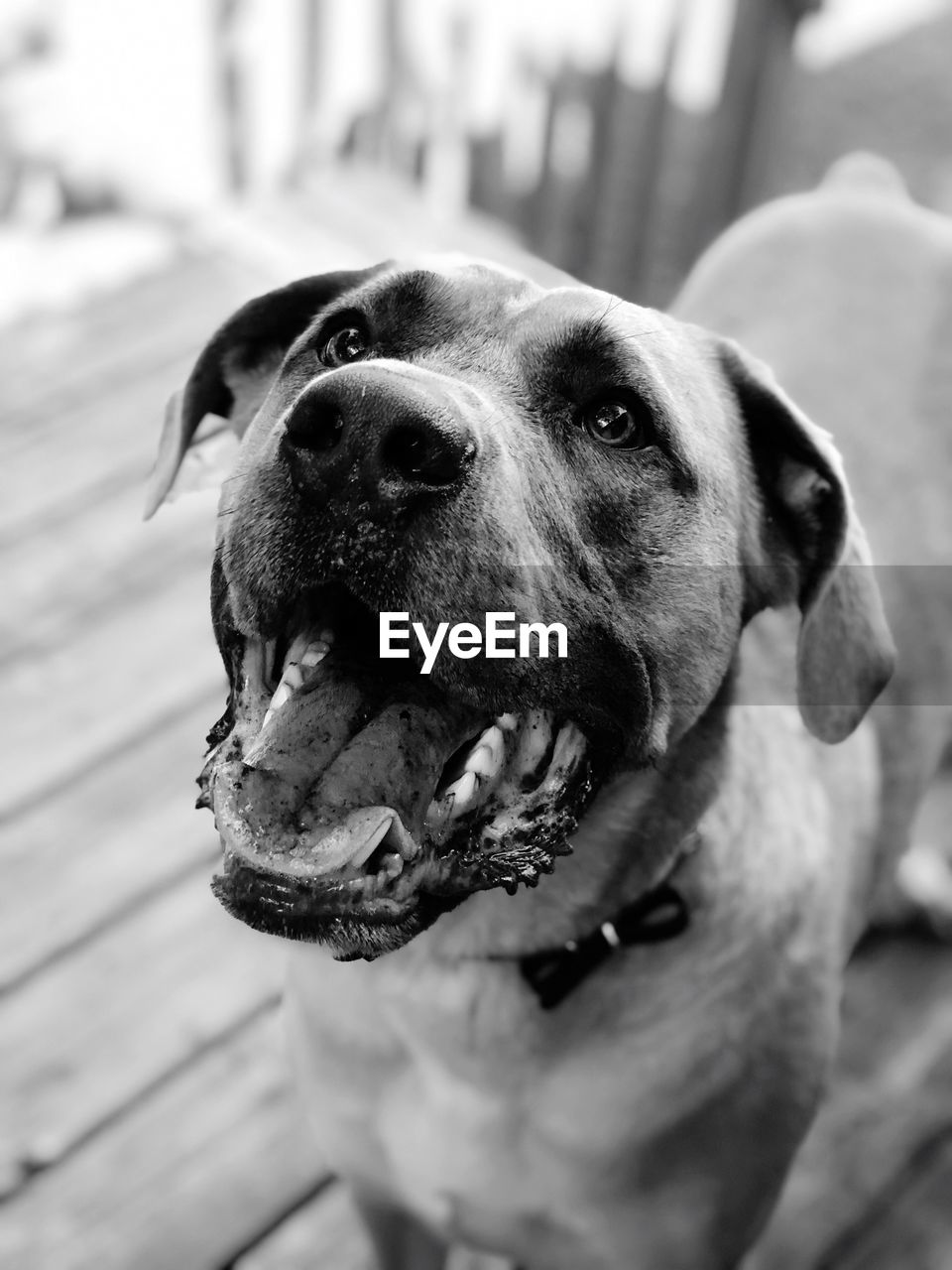 canine, dog, one animal, pets, domestic, domestic animals, mammal, vertebrate, close-up, focus on foreground, no people, looking, portrait, animal body part, mouth open, mouth, looking at camera, animal mouth, snout
