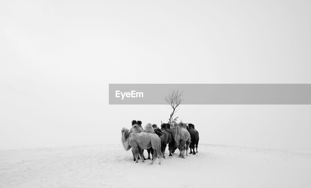 Camels Standing On Snow Against Clear Sky