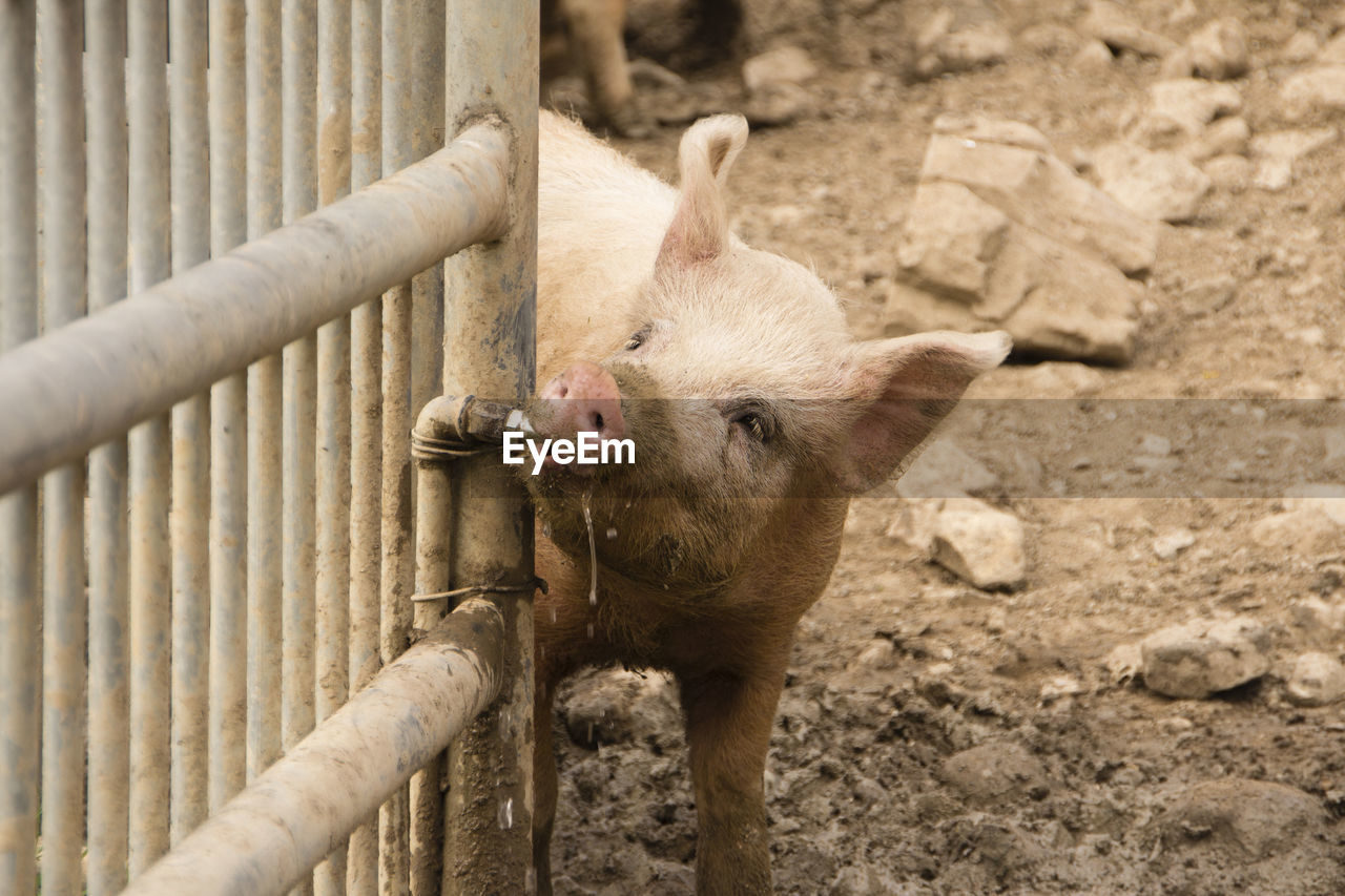 animal themes, animal, mammal, one animal, vertebrate, no people, animals in captivity, pig, day, boundary, domestic animals, pets, barrier, nature, fence, animal wildlife, domestic, outdoors, high angle view, livestock