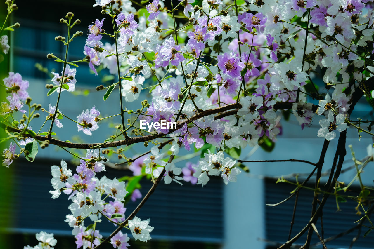 CLOSE-UP OF PINK CHERRY BLOSSOMS AGAINST TREE