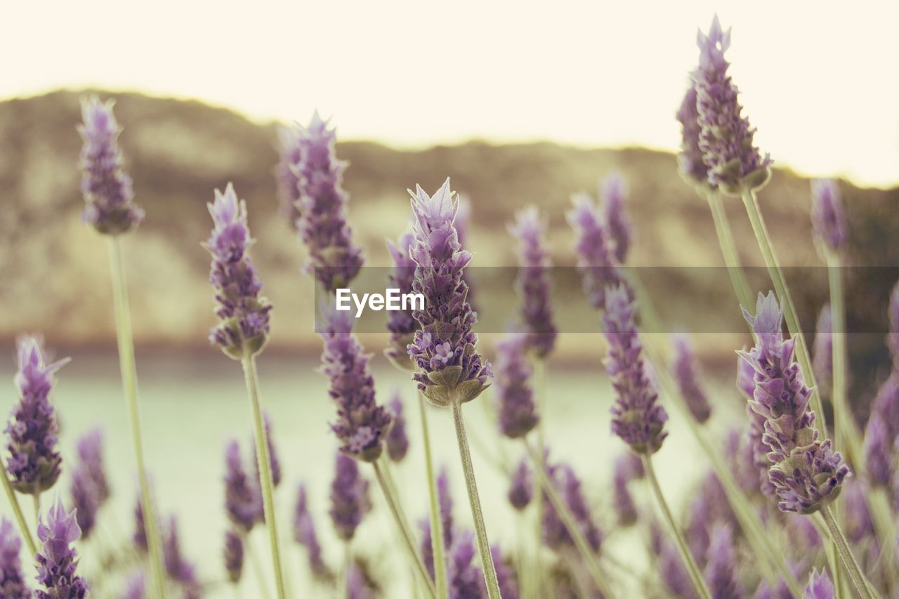 flower, nature, growth, plant, purple, beauty in nature, fragility, field, lavender, outdoors, no people, day, selective focus, tranquility, agriculture, rural scene, close-up, freshness, blooming, flower head, thistle, sky
