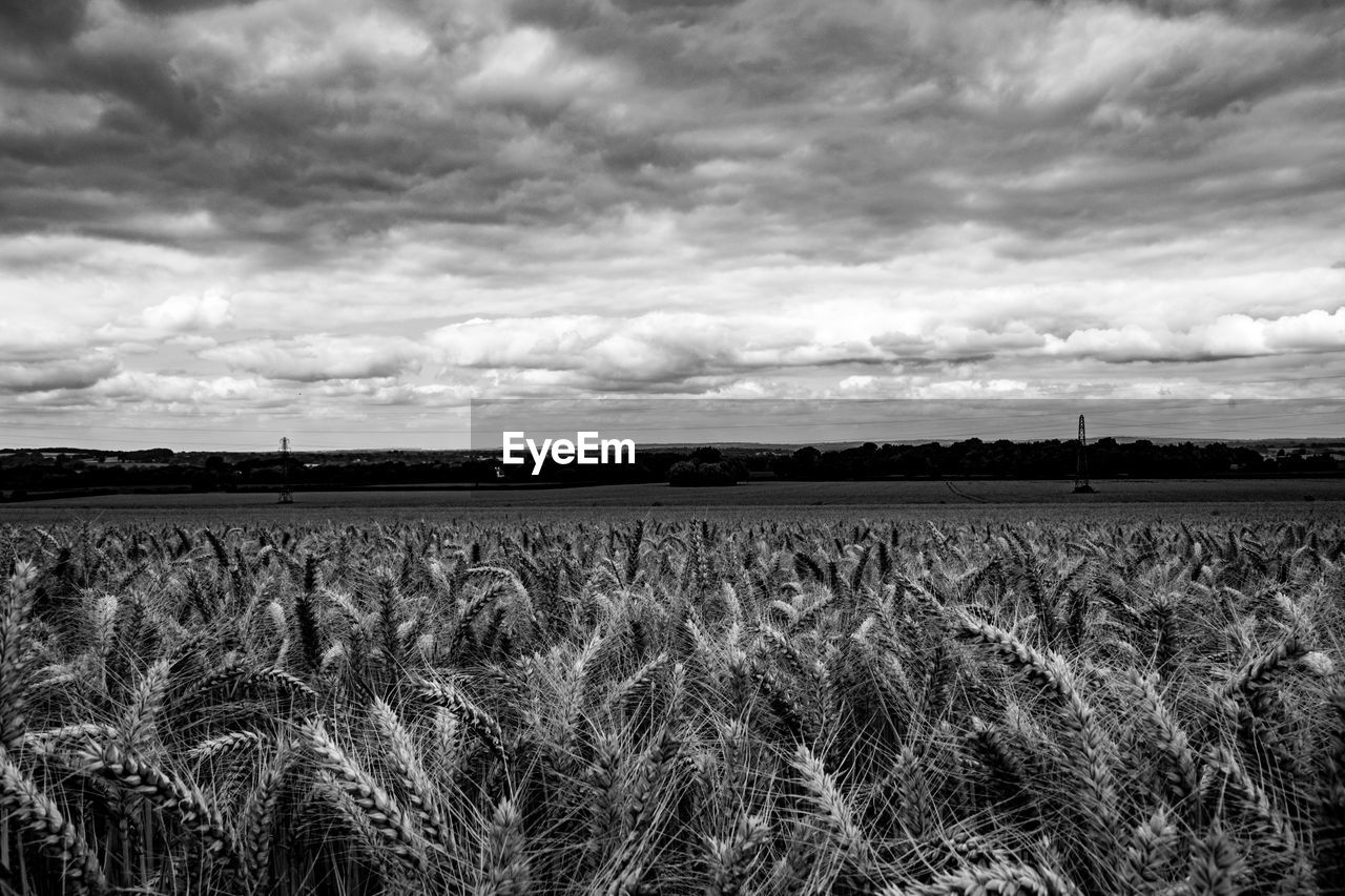 Wheat growing on field against cloudy sky