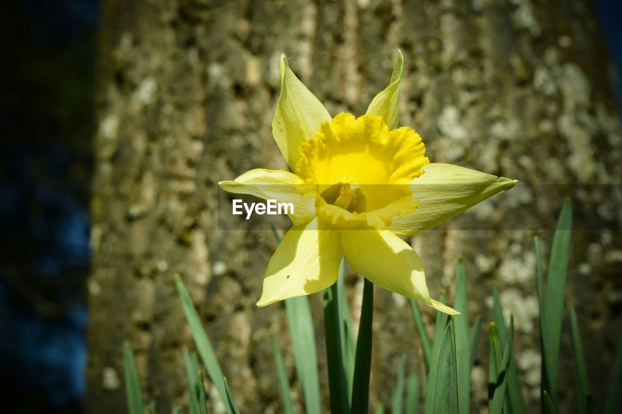 flower, yellow, fragility, petal, flower head, nature, growth, freshness, beauty in nature, day, daffodil, close-up, outdoors, no people, plant, focus on foreground, blooming, crocus