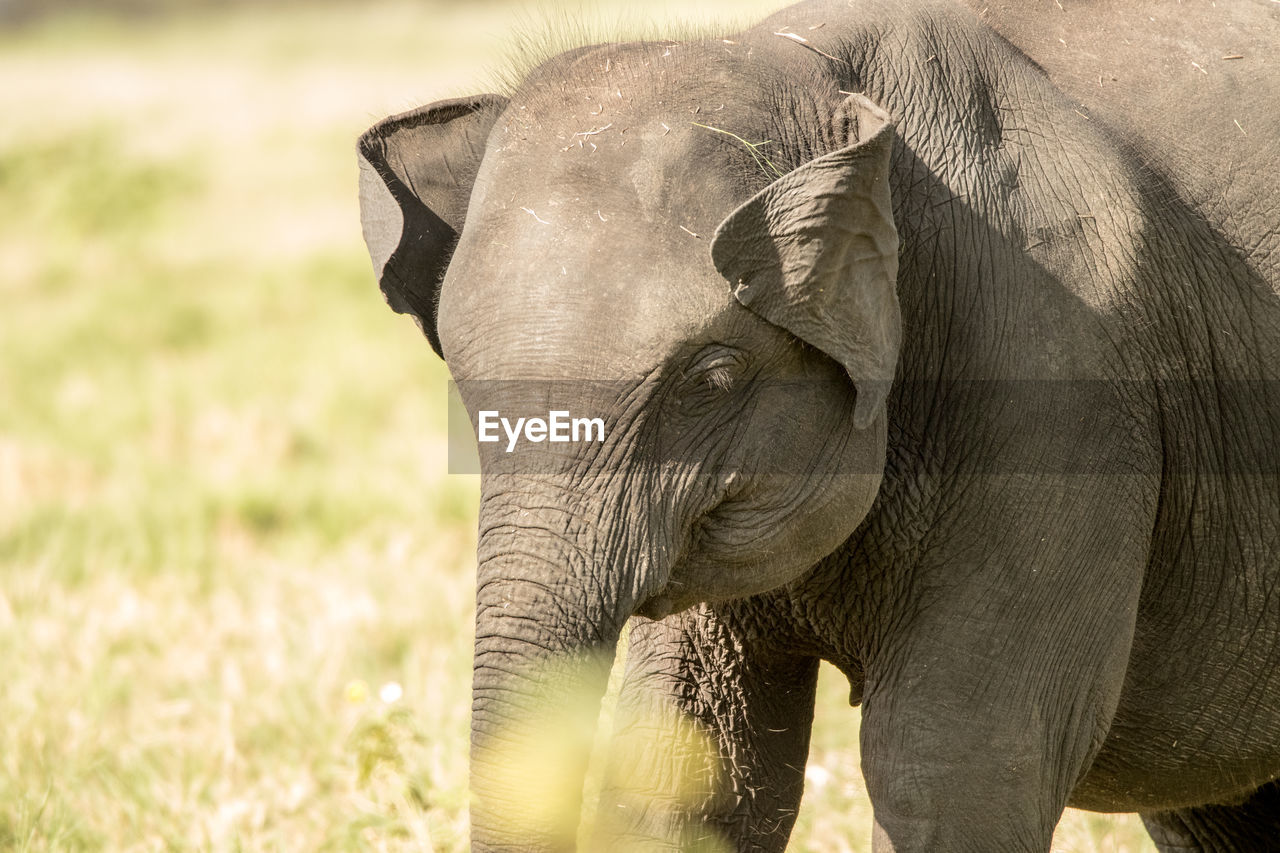 CLOSE-UP OF ELEPHANT IN GRASS