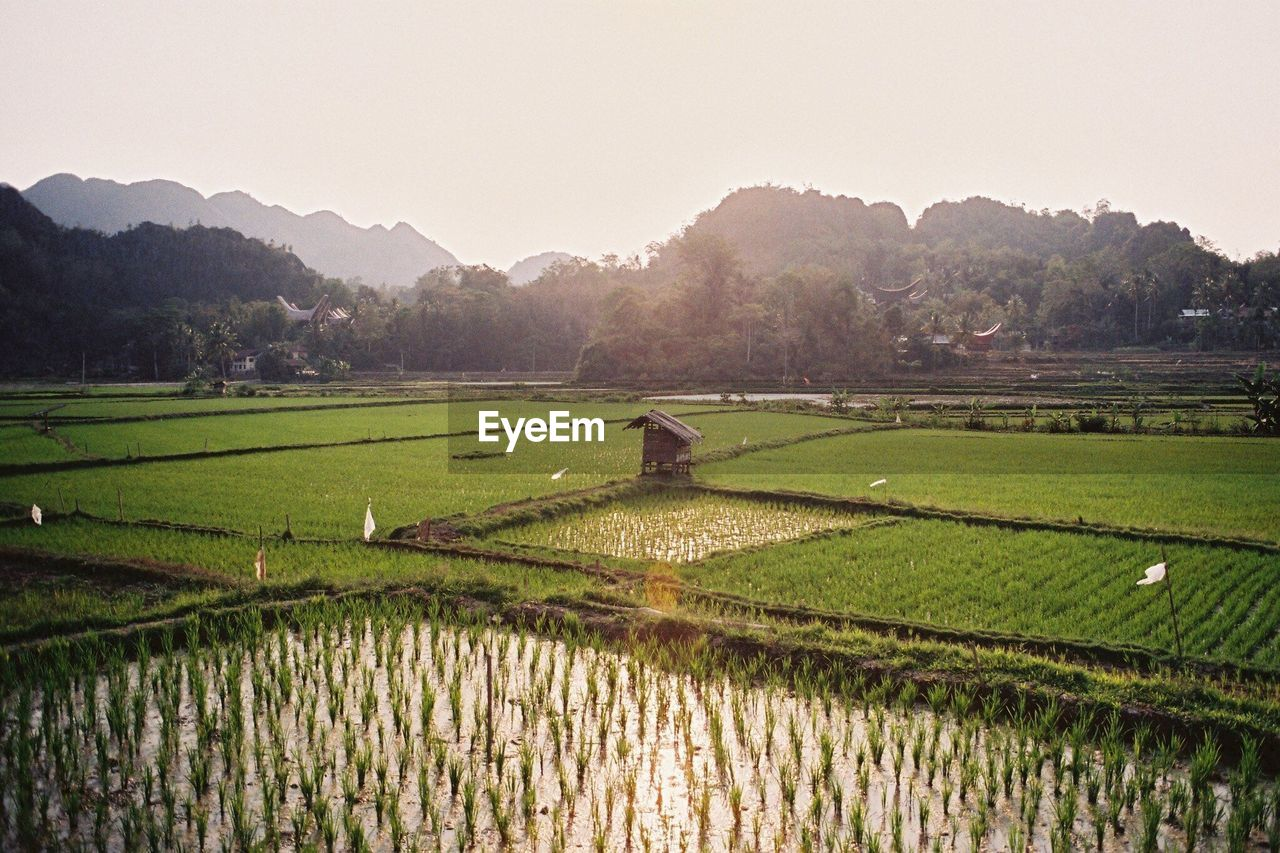 landscape, agriculture, sky, scenics - nature, field, rural scene, growth, nature, tranquil scene, plant, beauty in nature, land, tranquility, environment, farm, rice - cereal plant, crop, clear sky, water, no people, outdoors, plantation
