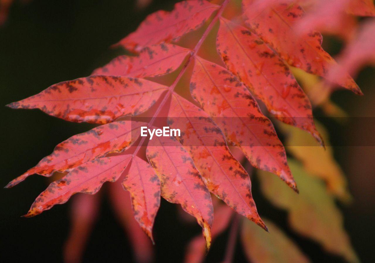 Close-Up Of Red Leaf