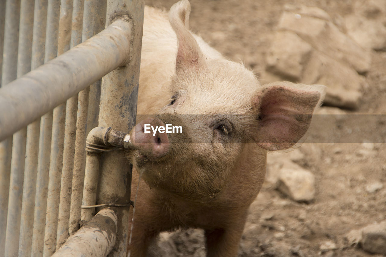 mammal, animal, animal themes, one animal, livestock, domestic animals, pig, barrier, boundary, vertebrate, no people, day, pets, fence, young animal, domestic, animals in captivity, outdoors, close-up, nature, animal pen, animal head, herbivorous