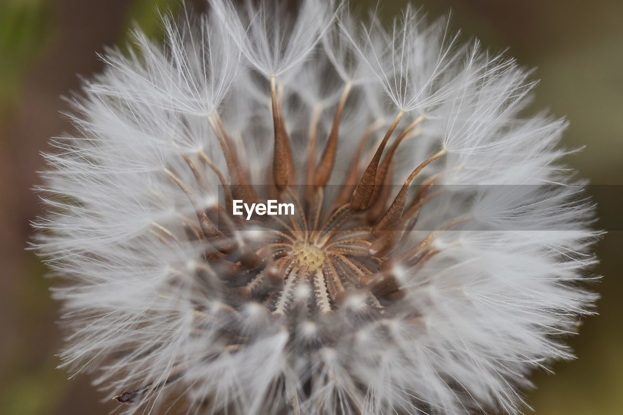 fragility, vulnerability, flower, flowering plant, close-up, beauty in nature, plant, freshness, dandelion, no people, white color, inflorescence, growth, softness, nature, focus on foreground, flower head, dandelion seed, day