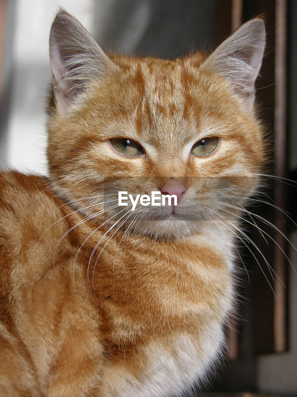 mammal, domestic, animal themes, animal, domestic animals, domestic cat, one animal, cat, pets, feline, whisker, close-up, focus on foreground, no people, vertebrate, portrait, looking at camera, animal body part, animal head, brown, ginger cat, animal eye