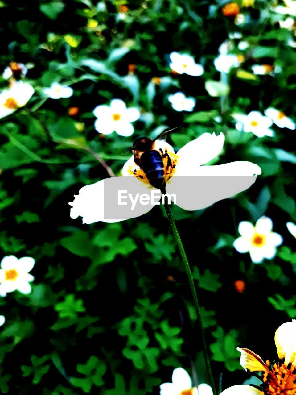 insect, flower, one animal, animal themes, animals in the wild, white color, fragility, petal, freshness, nature, growth, beauty in nature, plant, animal wildlife, outdoors, day, no people, bee, focus on foreground, flower head, pollination, close-up