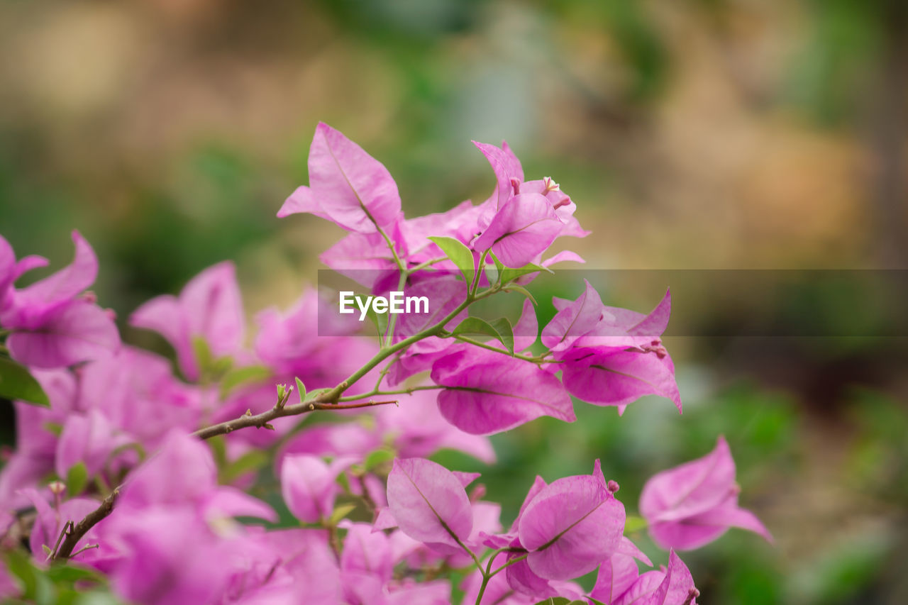 flower, flowering plant, beauty in nature, pink color, fragility, vulnerability, plant, growth, close-up, petal, freshness, focus on foreground, inflorescence, flower head, nature, outdoors, day, no people, bougainvillea, selective focus, springtime, purple