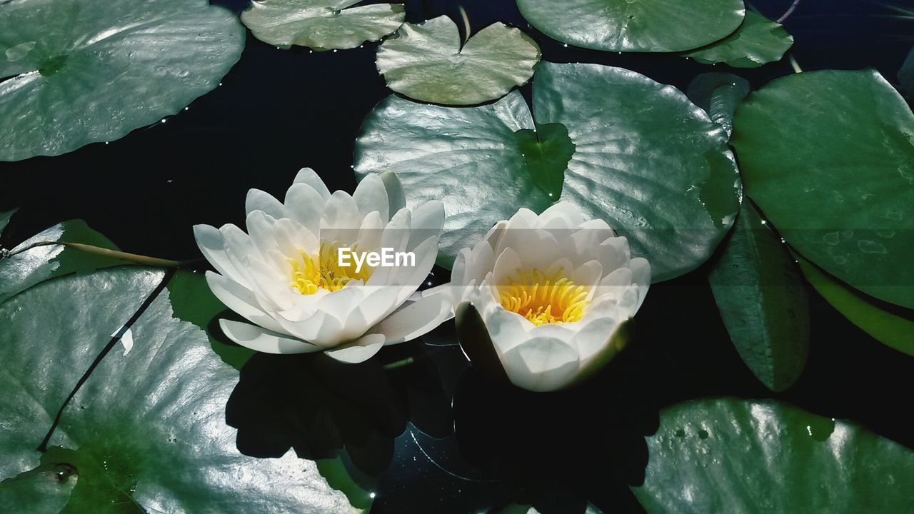flower, beauty in nature, petal, nature, water, leaf, freshness, fragility, flower head, white color, growth, water lily, no people, floating on water, plant, day, outdoors, blooming, lake, yellow, lily pad, close-up, lotus water lily