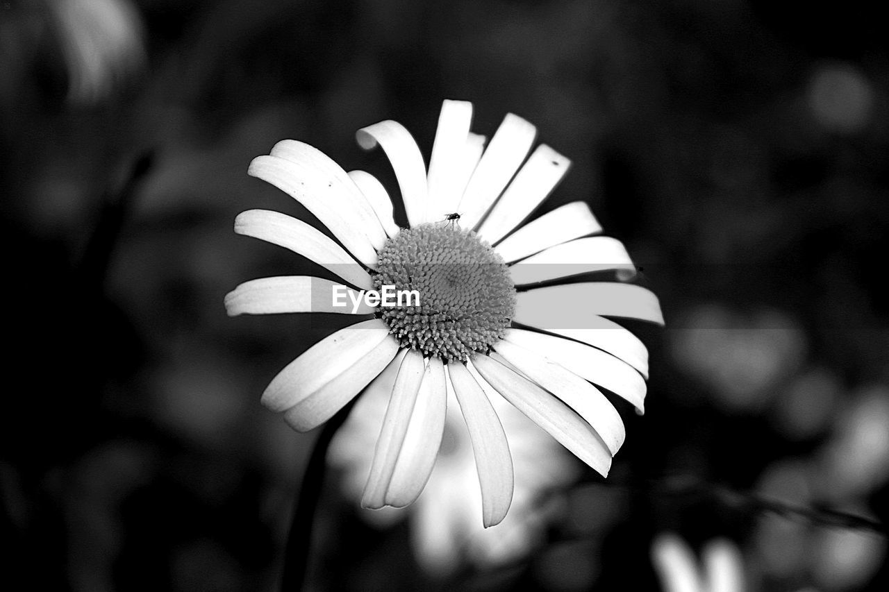 flower, petal, flower head, growth, nature, focus on foreground, fragility, blooming, freshness, plant, beauty in nature, pollen, day, outdoors, close-up, no people, osteospermum