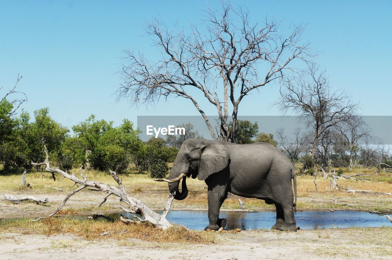 Side View Of Elephant On Field Against Clear Sky