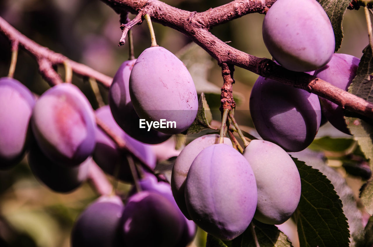 food and drink, fruit, growth, food, nature, hanging, focus on foreground, freshness, close-up, no people, day, outdoors, tree, purple, beauty in nature, healthy eating, plant, branch