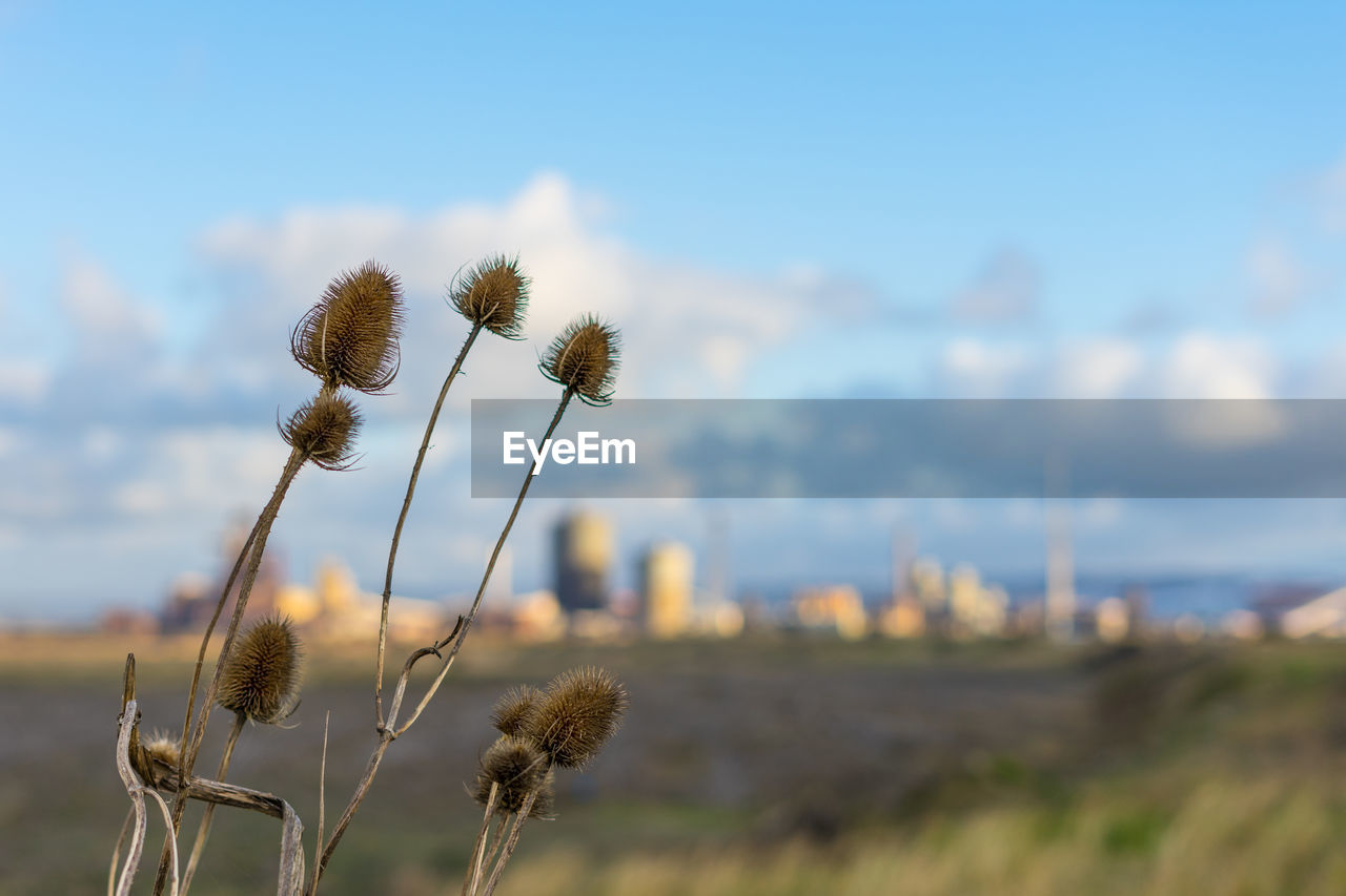 plant, flower, growth, flowering plant, beauty in nature, focus on foreground, nature, sky, field, fragility, vulnerability, close-up, day, land, freshness, no people, thistle, tranquility, plant stem, landscape, outdoors, flower head