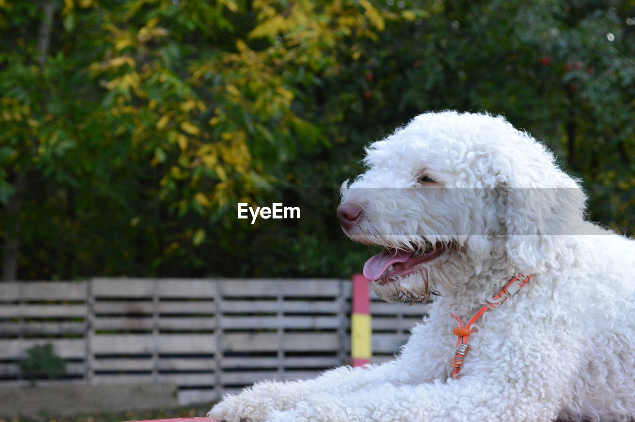 domestic, one animal, pets, domestic animals, animal themes, mammal, animal, canine, dog, vertebrate, white color, focus on foreground, no people, poodle, day, close-up, animal hair, looking away, park, looking, small, animal head, mouth open