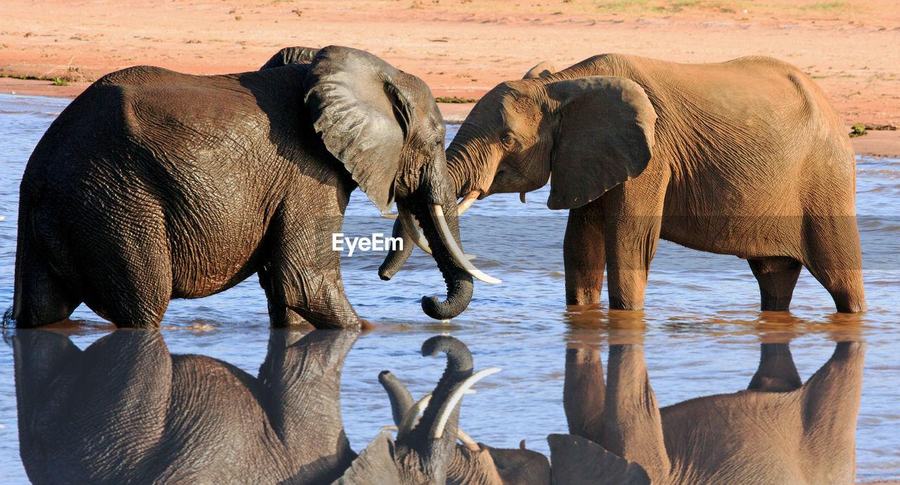 Elephants In Water