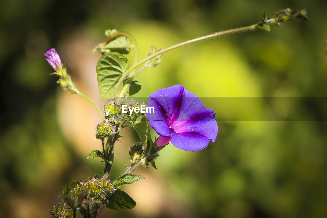 flowering plant, flower, plant, vulnerability, fragility, beauty in nature, freshness, growth, petal, close-up, inflorescence, purple, flower head, focus on foreground, nature, selective focus, no people, day, outdoors, plant stem