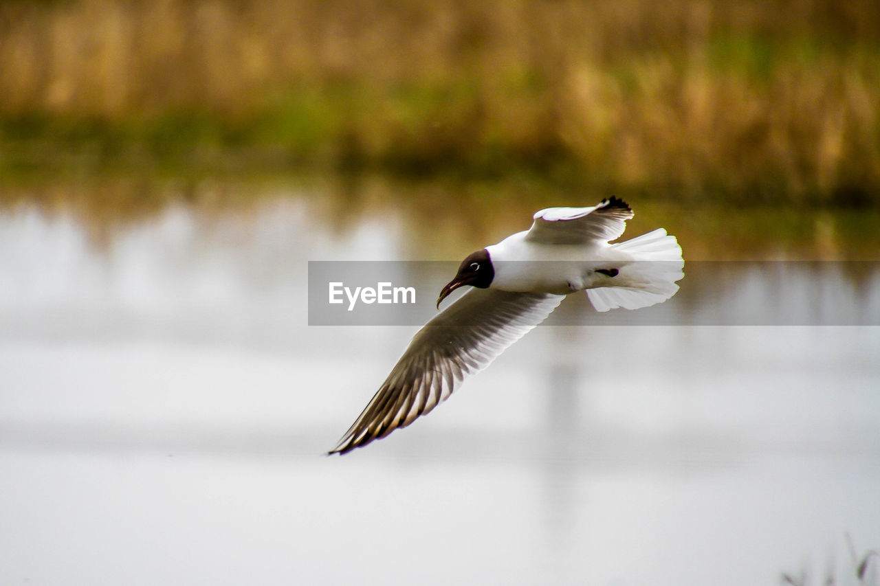 vertebrate, bird, animals in the wild, animal wildlife, animal themes, animal, flying, one animal, spread wings, water, lake, no people, focus on foreground, nature, day, beauty in nature, mid-air, white color, water bird, flapping
