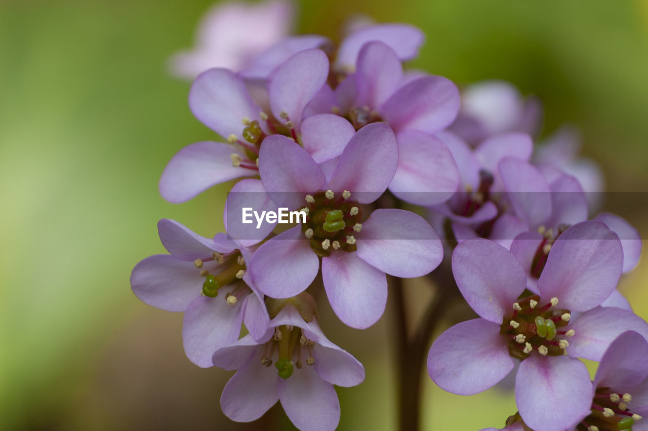 flowering plant, flower, vulnerability, fragility, petal, plant, beauty in nature, close-up, growth, freshness, flower head, inflorescence, no people, nature, focus on foreground, purple, day, botany, pollen, outdoors, springtime, bunch of flowers