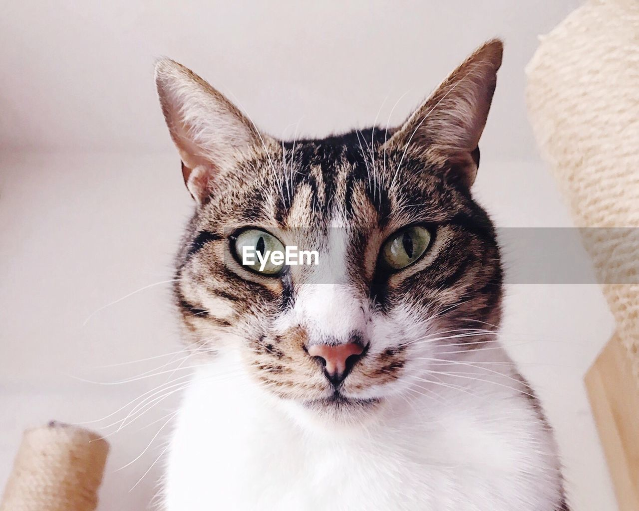 domestic cat, looking at camera, portrait, feline, one animal, pets, animal themes, domestic animals, whisker, mammal, indoors, close-up, no people, white background, day
