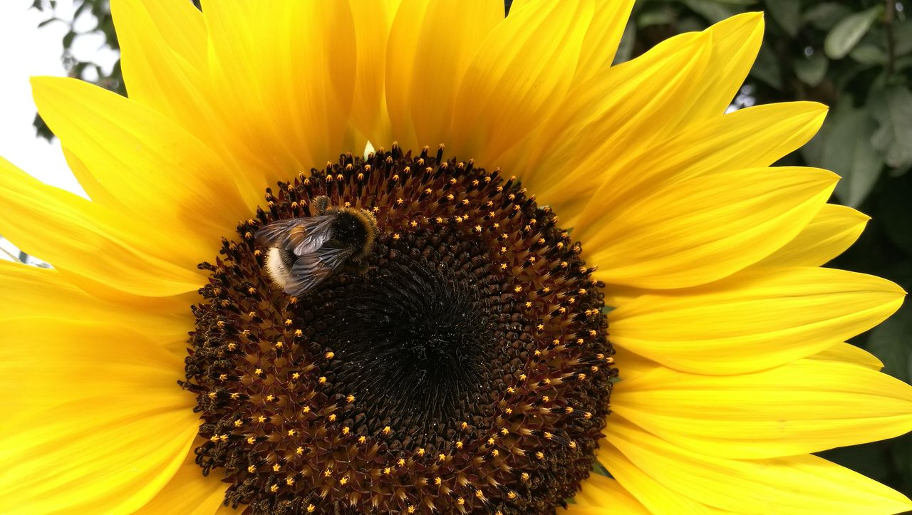 flower, flowering plant, petal, fragility, yellow, flower head, vulnerability, freshness, inflorescence, beauty in nature, pollen, close-up, growth, invertebrate, one animal, animal themes, animal wildlife, animal, sunflower, insect, pollination, no people, bumblebee