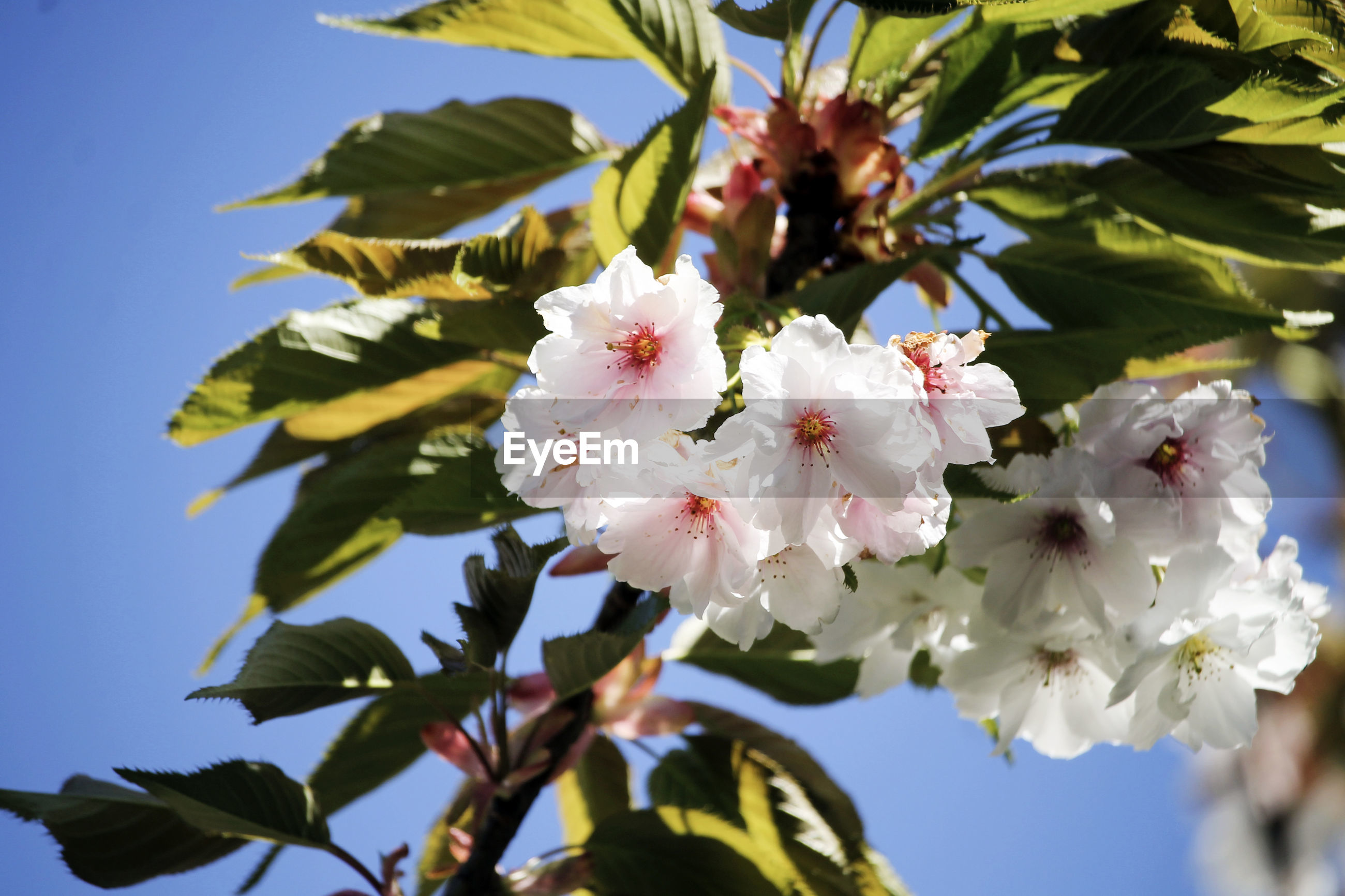 CLOSE-UP OF WHITE CHERRY BLOSSOM TREE AGAINST SKY