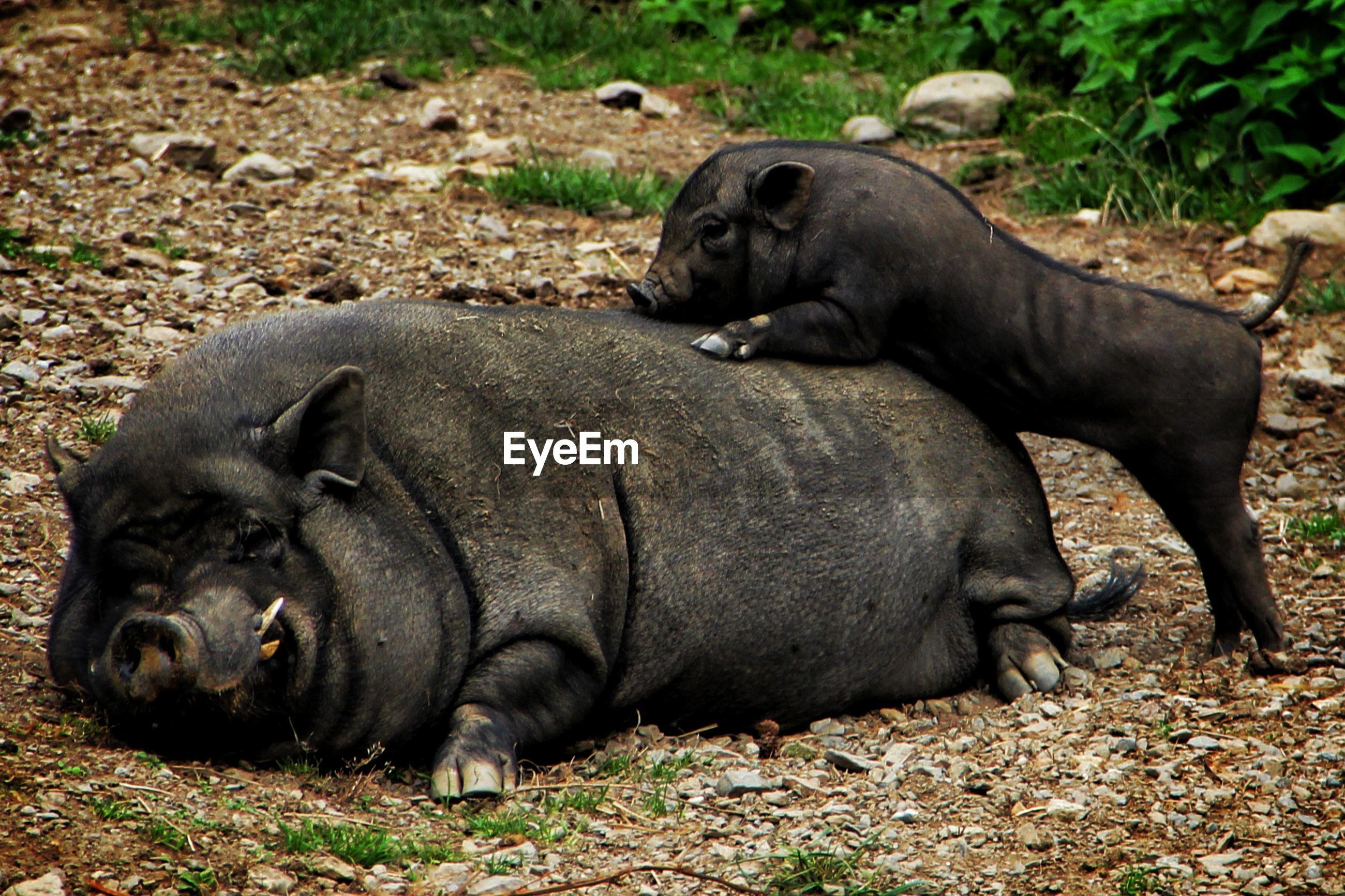 Pig lying on field