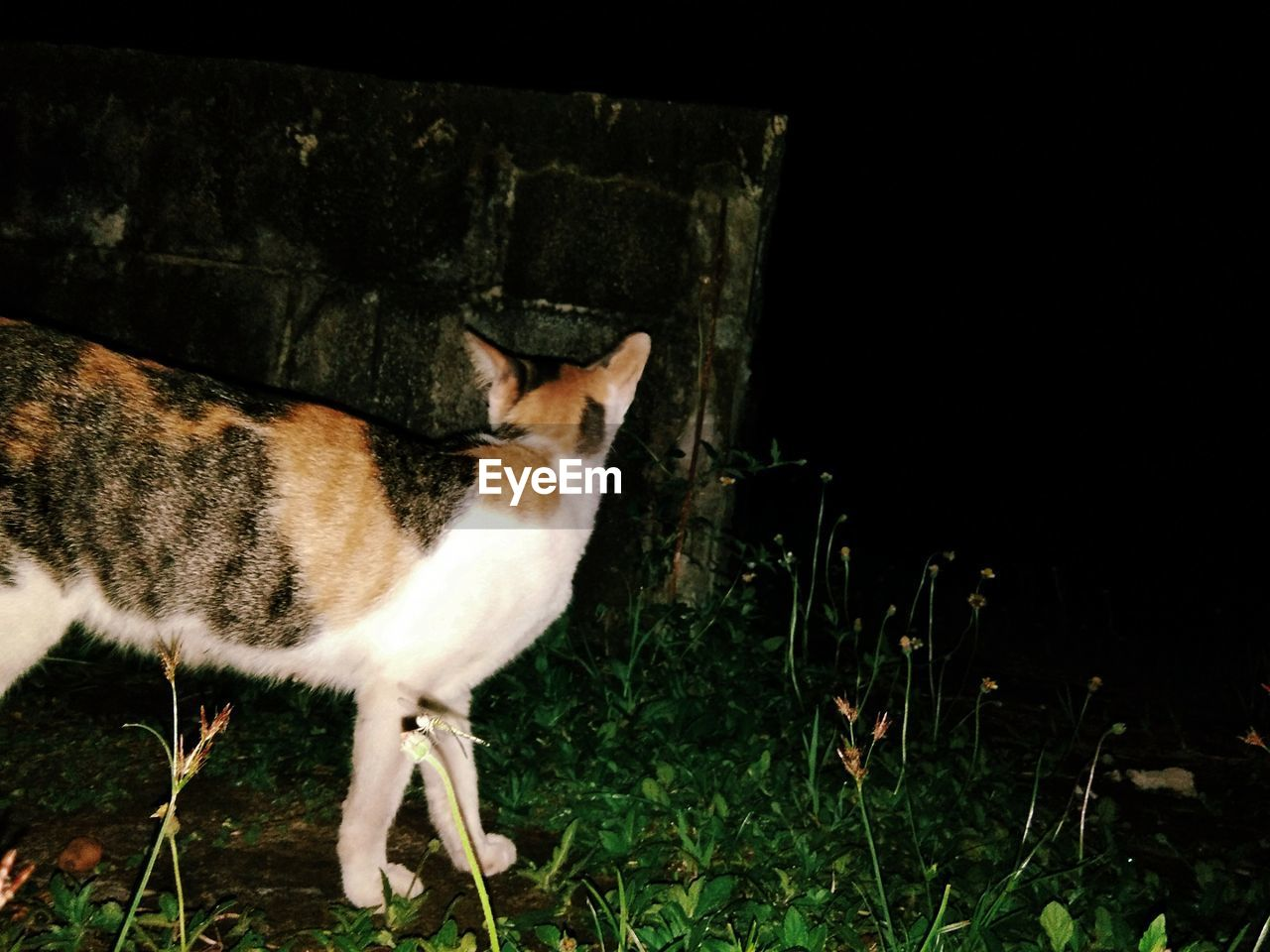 one animal, mammal, vertebrate, domestic animals, domestic, pets, cat, feline, no people, domestic cat, nature, night, looking, standing, full length, grass, portrait, whisker