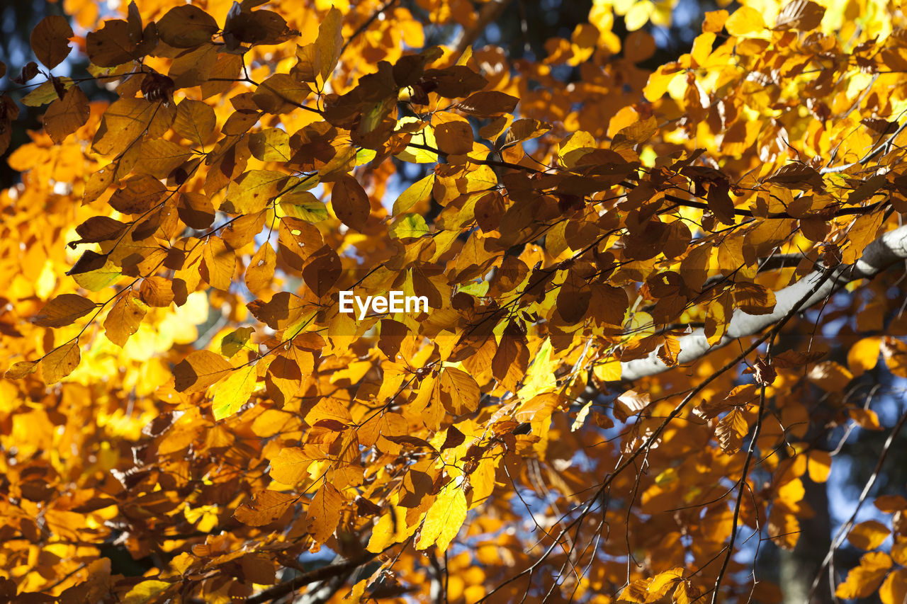 plant part, leaf, change, autumn, tree, branch, yellow, plant, beauty in nature, growth, no people, nature, day, close-up, full frame, backgrounds, focus on foreground, low angle view, sunlight, orange color, outdoors, maple leaf, leaves, autumn collection, natural condition, fall