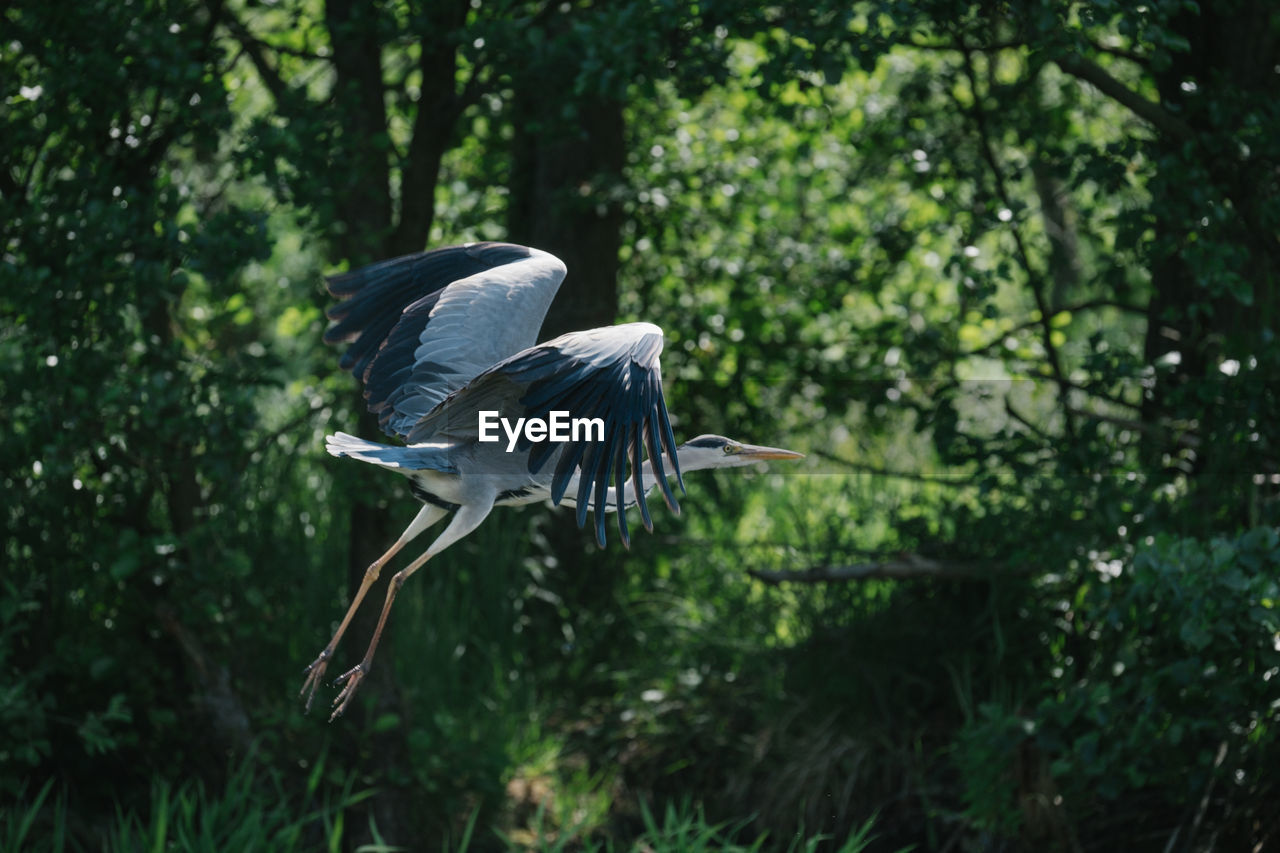 animal wildlife, animals in the wild, bird, animal themes, vertebrate, animal, one animal, tree, plant, flying, no people, spread wings, focus on foreground, nature, heron, day, green color, mid-air, forest, land